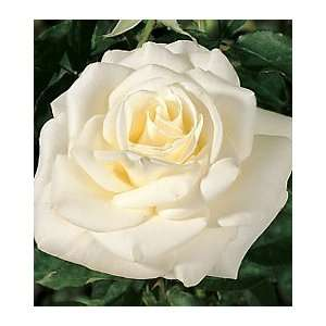 John F. Kennedy Hybrid Tea Rose: Patio, Lawn & Garden