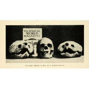 1912 Print Turtle Skulls Larger than Humans Reptiles