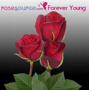 cut Long Stem Roses (8 dozen+) Wholesale Bulk Flowers   via FedEx