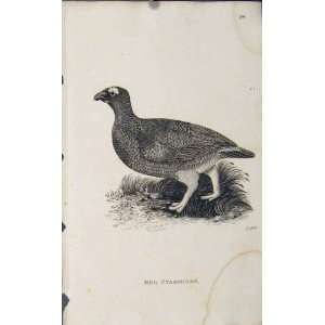 Red Ptarmigan Fine Art Antique Print Engraving Bird Art