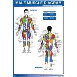 Male Muscle Diagram Poster  Sports & Outdoors