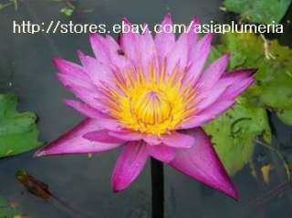 10 LIVE MAMEAW WATER LILY PLANTS LOTUS POND +FreeDoc