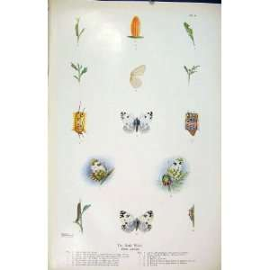 Bath White Butterfly Insect Worm Egg Larva Old Print: Home